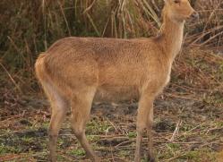 barasingha-deer-swamp-deer-3882-india-copyright-photographers-on-safari-com