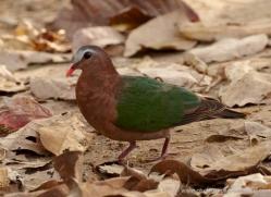 emerald-dove-india-3898-india-copyright-photographers-on-safari-com