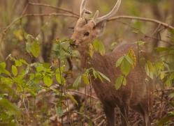hog-deer-3872-india-copyright-photographers-on-safari-com