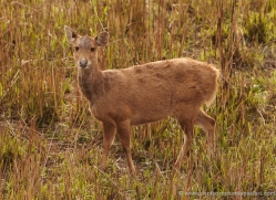 hog-deer-3876-india-copyright-photographers-on-safari-com