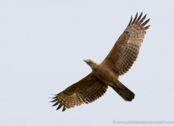 honey-buzzard-india-3905-india-copyright-photographers-on-safari-com