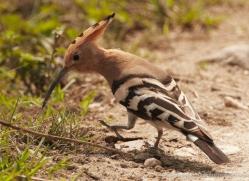 hoopoe-3885-india-copyright-photographers-on-safari-com