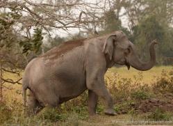 indian-elephant-3865-india-copyright-photographers-on-safari-com