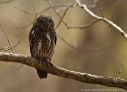 jungle-owlet-india-3897-india-copyright-photographers-on-safari-com