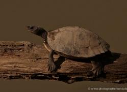 turtle-3888-india-copyright-photographers-on-safari-com