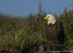 bald-eagle-alaska-1236-copyright-photographers-on-safari-com
