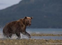 brown-bear-alaska-1260-copyright-photographers-on-safari-com