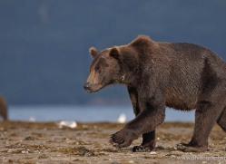 brown-bear-alaska-1262-copyright-photographers-on-safari-com