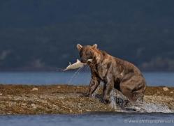 brown-bear-alaska-1264-copyright-photographers-on-safari-com