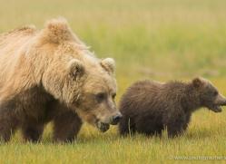 brown-bear-alaska-1266-copyright-photographers-on-safari-com