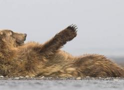 brown-bear-alaska-1273-copyright-photographers-on-safari-com