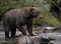 brown-bear-alaska-1276-copyright-photographers-on-safari-com
