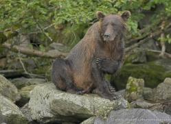 brown-bear-alaska-1278-copyright-photographers-on-safari-com