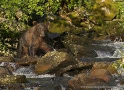 brown-bear-alaska-1280-copyright-photographers-on-safari-com