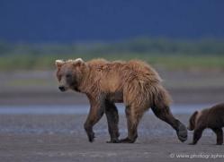 brown-bear-alaska-1285-copyright-photographers-on-safari-com