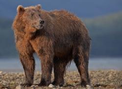 brown-bear-alaska-1265-copyright-photographers-on-safari-com