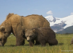 brown-bear-alaska-1270-copyright-photographers-on-safari-com