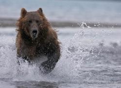 brown-bear-alaska-1272-copyright-photographers-on-safari-com