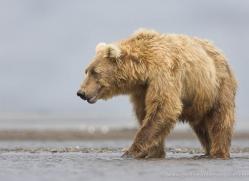 brown-bear-alaska-1275-copyright-photographers-on-safari-com