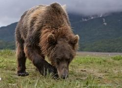 brown-bear-alaska-1281-copyright-photographers-on-safari-com