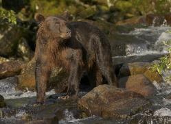 brown-bear-alaska-1282-copyright-photographers-on-safari-com