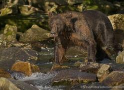 brown-bear-alaska-1283-copyright-photographers-on-safari-com