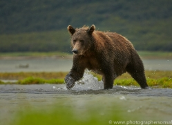 Brown Bear 2014-10copyright-photographers-on-safari-com