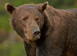 Brown Bear 2014-12copyright-photographers-on-safari-com
