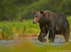 Brown Bear 2014-13copyright-photographers-on-safari-com