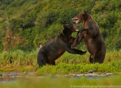 Brown Bear 2014-14copyright-photographers-on-safari-com