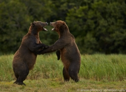 Brown Bear 2014-23copyright-photographers-on-safari-com