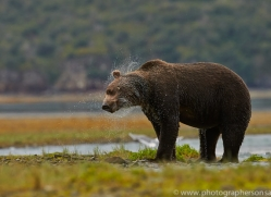 Brown Bear 2014-3copyright-photographers-on-safari-com
