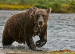 Brown Bear 2014-4copyright-photographers-on-safari-com