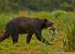 Brown Bear 2014-6copyright-photographers-on-safari-com