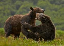 Brown Bear 2014-8copyright-photographers-on-safari-com
