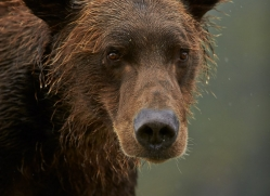 Brown Bear 2014-9copyright-photographers-on-safari-com