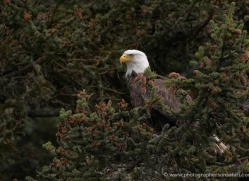 bald-eagle-alaska-1235-copyright-photographers-on-safari-com