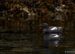 black-guillemot-alaska-1237-copyright-photographers-on-safari-com