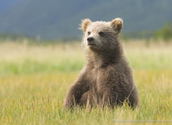brown-bear-alaska-1259-copyright-photographers-on-safari-com