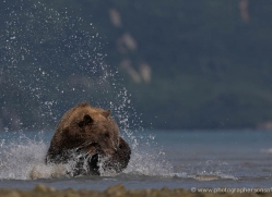 brown-bear-alaska-1261-copyright-photographers-on-safari-com
