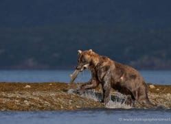 brown-bear-alaska-1263-copyright-photographers-on-safari-com