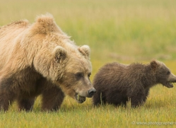 brown-bear-alaska-1266-copyright-photographers-on-safari-com