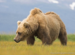 brown-bear-alaska-1267-copyright-photographers-on-safari-com