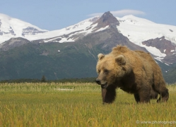 brown-bear-alaska-1268-copyright-photographers-on-safari-com