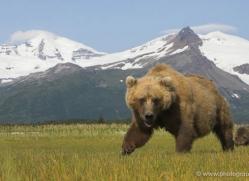 brown-bear-alaska-1269-copyright-photographers-on-safari-com