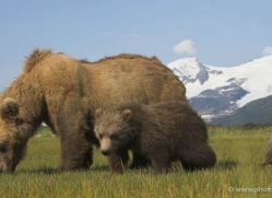 brown-bear-alaska-1270-copyright-photographers-on-safari-com