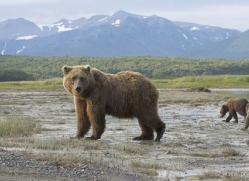 brown-bear-alaska-1271-copyright-photographers-on-safari-com