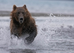 brown-bear-alaska-1272-copyright-photographers-on-safari-com