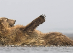brown-bear-alaska-1273-copyright-photographers-on-safari-com