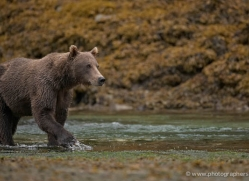 brown-bear-alaska-1274-copyright-photographers-on-safari-com